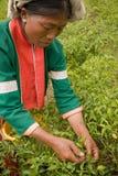 Kobiety Palong grupa etnicza zbiera chili pieprze w polach Zdjęcie Royalty Free