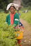 Kobiety Palong grupa etnicza zbiera chili pieprze w polach Obraz Royalty Free