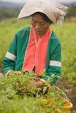 Kobiety Palong grupa etnicza zbiera chili pieprze w polach Zdjęcia Royalty Free