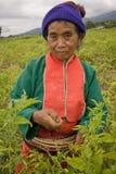 Kobiety Palong grupa etnicza zbiera chili pieprze w polach Fotografia Stock