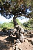 Kobiety piersi drzewo Zdjęcie Stock