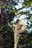 Kobiety Pileated Gibbon obsiadanie w gałąź obrazy royalty free