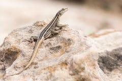 Kobiety Platysaurus jaszczurka na skale w Mapungubwe, Południowa Afryka Obrazy Stock