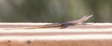 Kobiety Platysaurus jaszczurka na skale w Mapungubwe, Południowa Afryka Zdjęcia Royalty Free