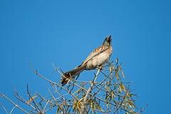 KOBIETY POPIELATA dzioborożec W drzewie zdjęcie stock