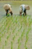 Kobiety pracuje na ryżu polu 01 Zdjęcie Stock
