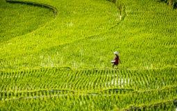 Kobiety pracuje w ryżu polu Wietnam 2015 Obraz Royalty Free