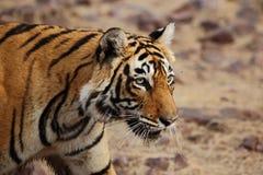 kobiety profilu strony tygrysica Zdjęcia Stock