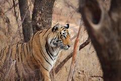 kobiety profilu strony tygrysica Fotografia Stock