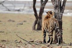 kobiety profilu strony tygrysica Zdjęcia Royalty Free