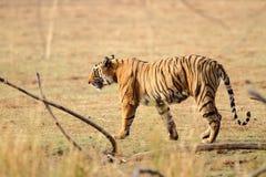 kobiety profilu strony tygrysica Obrazy Stock