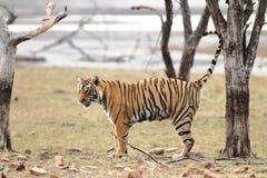 kobiety profilu strony tygrysica Zdjęcie Stock