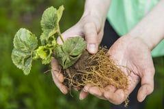 Kobiety przedstawienia korzenie truskawkowy krzak Zdjęcia Royalty Free