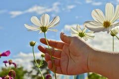 Kobiety ręka dotyka pięknego białego kosmos kwitnie w jaskrawym niebie Zdjęcie Stock