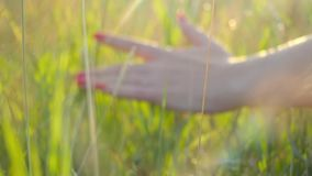 Kobiety ręka dotyka złotej trawy z słońce promieniami zdjęcie wideo