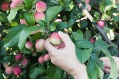 Kobiety ręka podnosi czerwonego dojrzałego jabłka od jabłoni Obraz Royalty Free