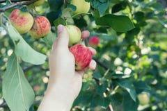 Kobiety ręka podnosi czerwonego dojrzałego jabłka od jabłoni Obrazy Royalty Free