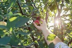Kobiety ręka podnosi czerwonego dojrzałego jabłka od jabłoni Obrazy Stock