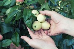 Kobiety ręka podnosi czerwonego dojrzałego jabłka od jabłoni Fotografia Royalty Free