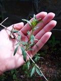 Kobiety ręka trzyma młodej Goji rośliny Fotografia Stock