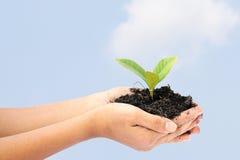 Kobiety ręka trzyma troszkę zielonej drzewnej rośliny Obrazy Stock