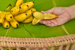 Kobiety ręka z żółtymi dama palca bananami stawiającymi na zielonym bananowym liściu, kluay-khai, Pisang Mas Fotografia Royalty Free