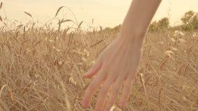 Kobiety ręki dotykać przy zmierzchem w zwolnionym tempie pszeniczni ucho w złotym polu zbiory wideo