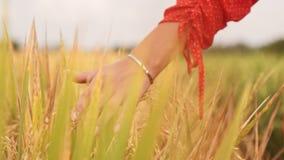 Kobiety ręki dotyka młodzi pszeniczni ucho przy zmierzchem lub wschód słońca Wiejska I Naturalna sceneria kraj, natura, wakacje l zdjęcie wideo