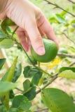 Kobiety ręki zrywania wapno na wapna drzewie Agriculturist tło Obrazy Stock