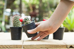 Kobiety ręki chwyta kaktusowy garnek na drewnianym stole Obraz Stock