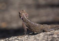 Kobiety Rockowy Agama patrzeje dla zdobycza, Tanzania Fotografia Royalty Free