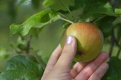 Kobiety ` s ręka rozdziera dojrzałego jabłka od gałąź zdjęcia stock