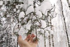 Kobiety ` s ręka trzyma śnieżną gałąź Obraz Stock