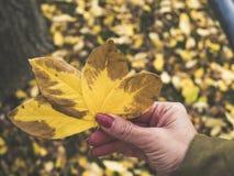 Kobiety ` s ręka trzyma cztery żółtego liścia w jej ręce obraz stock