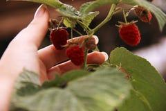 Kobiety ` s ręki gromadzenia się malinki na krzaku Zbliżenie malinowa trzcina Lato ogród w wiosce Narastający jagody żniwo Obrazy Royalty Free