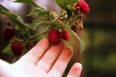 Kobiety ` s ręki gromadzenia się malinki na krzaku Zbliżenie malinowa trzcina Lato ogród w wiosce Narastający jagody żniwo Fotografia Royalty Free