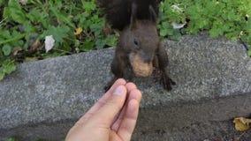 Kobiety ` s ręki karmy puszysta wiewiórka z dokrętkami w mo zbiory