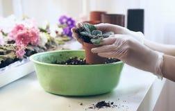 Kobiety ` s wręcza trzymać młodego kwiatu który przeflancowywa w glebowej ekologii ochronie Przeszczep kwitnie w garnkach Obrazy Royalty Free