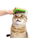 Kobiety tabby zgrzywiony kot zdjęcia royalty free