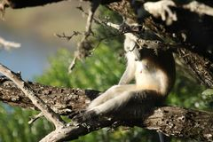 Kobiety Vervet małpy dopatrywanie przez gałąź zdjęcia stock