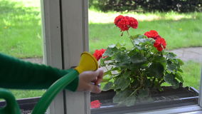 Kobiety wody kwiatu parapet zbiory wideo