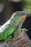Kobiety Zielona iguana Zdjęcia Stock