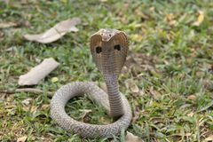 Kobra在西孟加拉邦,印度 免版税图库摄影