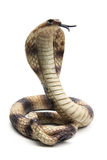 kobra Zdjęcie Royalty Free