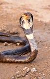 Kobra Fotografia Royalty Free