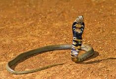 kobra zdjęcia stock