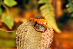 kobra obrazy stock