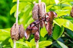 Kobra motyl w kokonie przy Montreal ogródem botanicznym Obrazy Royalty Free