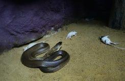 Kobra przyglądający szczur Fotografia Royalty Free