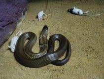 Kobra przyglądający szczur Fotografia Stock
